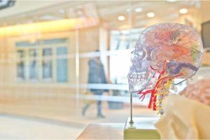 脳が変化が透けて見える骸骨の模型